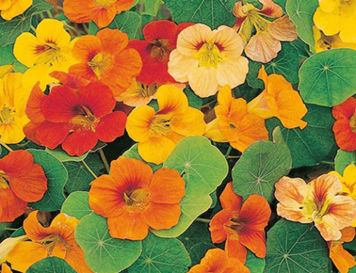 Kenridge Walks – Nasturtiums and Vineyard Deli